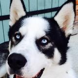 Yauce - Alaskan Husky