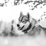 Liwanu - Husky de Sibérie