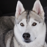 furka joyce et mon petit ange gessy - Siberian Husky