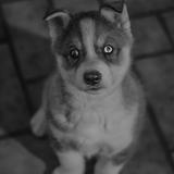 Jaïnah. ❤️ - Husky siberiano