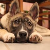 Neige - Husky siberiano