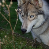 Loki & Maya  - Husky de Sibérie