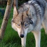 Loki & Maya  - Siberian Husky