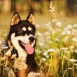 Lypee - Siberian Husky