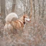 Yourka, Hélia & Niko - Siberian Husky