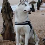Laïka - Husky siberiano
