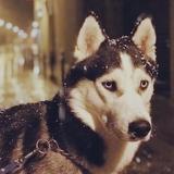 Mi-Loup - Husky de Sibérie