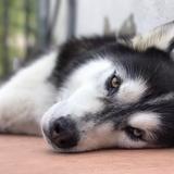 Max - Siberian Husky