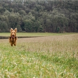 Pixie - Irish Terrier