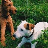 Pixie - Irish Terrier