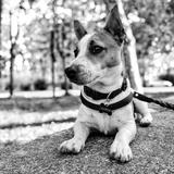 Aaron💙 - Jack Russell Terrier
