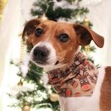 Joy - Jack Russell Terrier