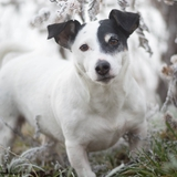 Dayla - Jack Russell Terrier