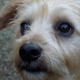 Junior - Border Terrier