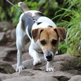 Miko - Jack Russell Terrier