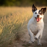 Dayla - Jack Russell Terrier
