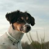 Louna - Jack Russell Terrier