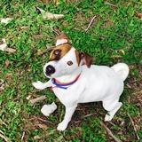 Lokki - Jack Russell Terrier