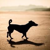 Kiara - Jack Russell Terrier