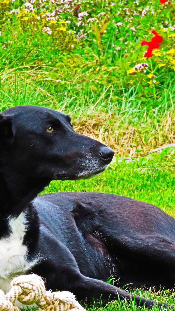 GA�A - Labrador Retriever