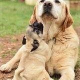Vynil et Pastora - Labrador Retriever