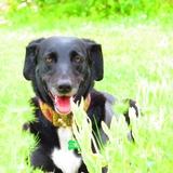 GAÏA - Labrador Retriever