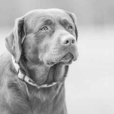 Lox - Labrador Retriever