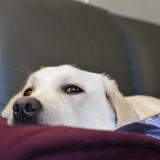Melba - Labrador Retriever