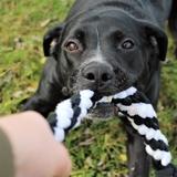 Inès. - American Pit Bull Terrier