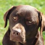 Jazz and friends - Labrador Retriever