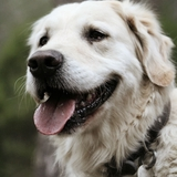 🌸Jazz And Friends🌸 - Labrador Retriever