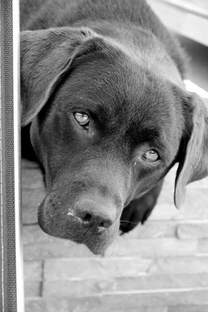 Jazz And Friends🌸� - Labrador Retriever