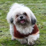 FREESTYLE & OXBOW (33) - Lhasa Apso