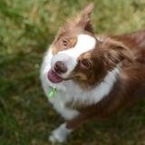 Jojo - Miniature Australian Shepherd