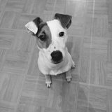 Mylo (95) - Parson Russell Terrier