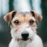 Luna - Parson Russell Terrier
