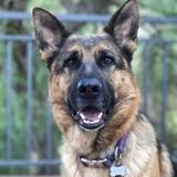 Mia - German Shepherd