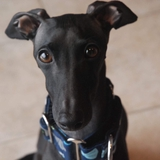 Charlot & Zina - Italian Greyhound