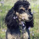 Bella - Poodle