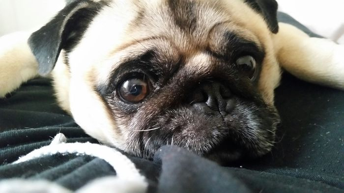 Rose Marie Muffin - Pug