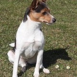 Clochette - Rat Terrier