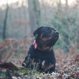 💓Mya Du Gilwesk 💓 - Rottweiler