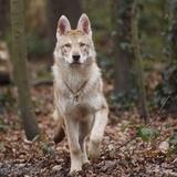 Haku - Saarloos wolfdog