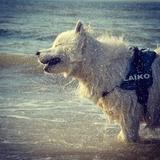 Laïko - Samoyed