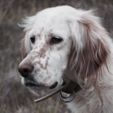 Lucky et Pinky - English Setter