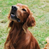 Alf - Irish Red and White Setter