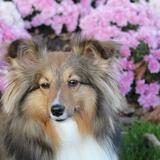 Elsie - Shetland Sheepdog