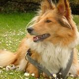 ♥ Lola & Ever ♥ - Shetland Sheepdog