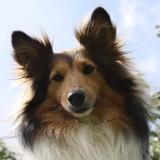 Jazz - Shetland Sheepdog