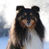 Loki - Shetland Sheepdog